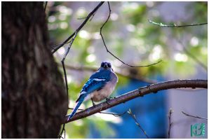Ft Tryon Bluejay3 by emailartist26