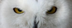 It's In The Eyes: Snow Owl by Jack-13