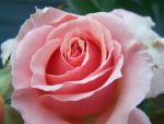 rose 1 by heather13olson