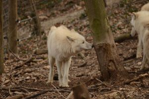 New White Wolves 1 by Lakela