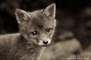 Fox Cub 18 by Alannah-Hawker