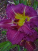 Double Daylilly by FroggieFaith