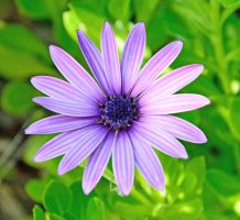 Purple Daisy by PaulWeber