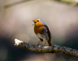 Singing Robin by ericsales
