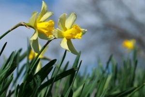 Two Daffodils by sztewe