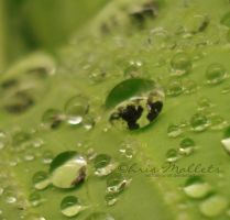 Water Drops- Cabbage by hertbonfaroff