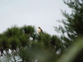 Red Tail Hawk by youngunlovedpoet