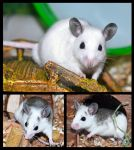 My African Soft Fur Rats by bapity88