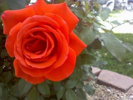 My Rose: picture by DarkAngelFleck
