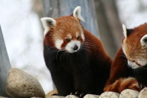 Red Pandas by DancingCavy