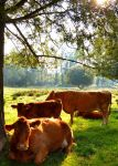 Cows by Becky125