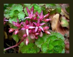 Pink Sedum and Fly by che4u