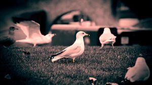Lomo Gulls by DarkShare9