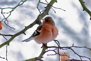 Proud Chaffinch I by OliverBPhotography