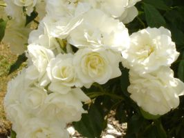 Pretty White Roses by Eadlin