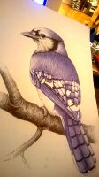 bluejay by pitch-kee