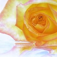 Yellow Rose 2 by deRaat