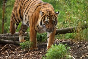 Malayan Tiger 57 by HarbingerPhotography
