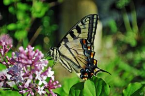 Swallowtail 3 by GrimFay