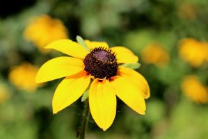 Black Eyed Susan by ParadoxGirl411