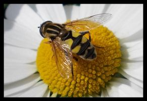 Skull Hoverfly by Leichenengel