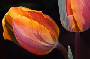 two tulips by ariseandrejoice