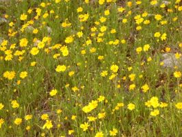 Yellow Flowers by TheGerm84