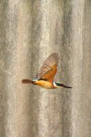 Kingfisher In Flight by no-soap-was-harmed