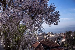 Finally almonds are blooming 2 by ShlomitMessica