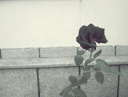 Vintage Rose by mmariang