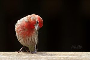 .:Backyard Finch III:. by RHCheng