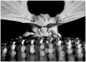 White Butterfly by Aderet