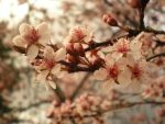 Plum Blossoms by Remiera