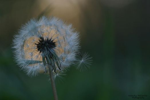 Dandelion at Sunset by wendy-pellerito
