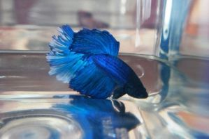 Betta Fish for export 03 by jerungan