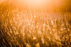 Glowing Foxtails 5 by isotophoto