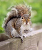 Gray Squirrel 2 by AlinaKurbiel