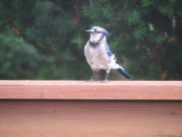 Bluejay III by LithiumStock
