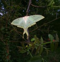 Chinese Moon Moth by Parides