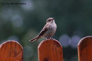 Flycatcher / Grauschnaepper by bluesgrass