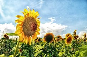 Sunflowers by RiegersArtistry