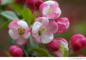 Peppermint Crabapple III by butterfly36rs
