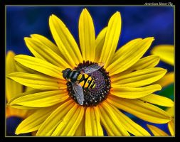 Another American Hover Fly by boron