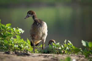 Egyptian Goose by rat-or-rat