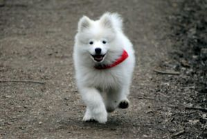 Laika the samoyed by Bienoo