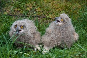 Eurasian Eagle Owls (Bubo bubo) Fledglings by MariaDeinert