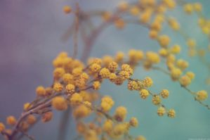 Mimosa by Mithertiths