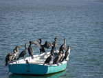 Ahoy Cormorants by Mogrianne