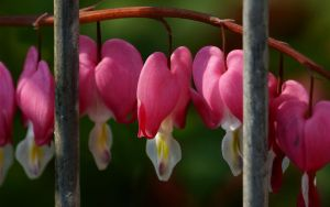 Captured Bleeding Heart by webcruiser