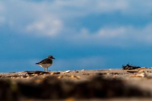 Proud plover by NicoFroehberg
